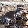 Otter Posing by Richard Kitchen