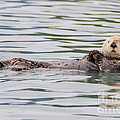 Otterly Adorable by Chris Scroggins