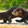 Otters Crossing The Road  by Davids Digits