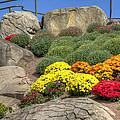 Ott's Greenhouse - Chrysanthemum Hill - Schwenksville - Pa by Mother Nature