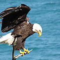 Our Finest American Bald Eagle by Mitch Spillane