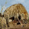 Out Of Africa Hyena 1 by Phyllis Spoor