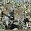 Out Of Africa  Hyena 2 by Phyllis Spoor