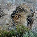 Out Of Africa Lions 4 by Phyllis Spoor