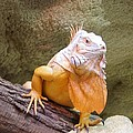 Out Of Africa Orange Lizard 1 by Phyllis Spoor