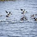 Out Of Here - Common Mergansers by Jack R Perry