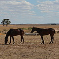 Outback Horses by Cheryl Miller