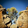 Outback Tree by Tim Hester