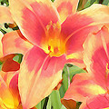 Outrageous Lilies by Jean Hall