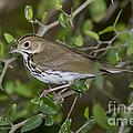 Ovenbird by Anthony Mercieca