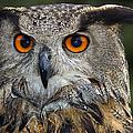 Owl Bubo Bubo Portrait by Matthias Hauser