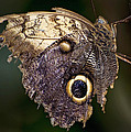 Owl Butterfly by Heather Applegate