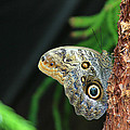 Owl Butterfly by Kevin Devine