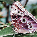 Owl Butterfly by Polly Peacock