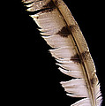 Owl Feather by Jean Noren