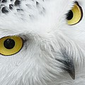 Owl by FL collection