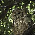 Owl by Geert Mantel