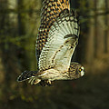 Owl In Flight by Rod Wiens