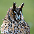 Owl Portrait by Dennis Dame
