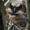 Owlet On The Watch by Jayne Gohr