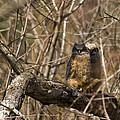 Owlets by Crystal Heitzman Renskers