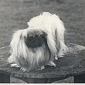Owner- Refuses £10,500 Offer For Pekinese by Retro Images Archive