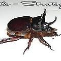 Ox Beetle by George Pedro
