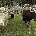 Oxen by John Shaw