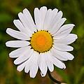 Oxeye Daisy by Ken Stampfer