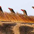 Oxpeckers by Max Waugh