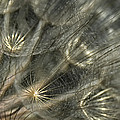 Oyster Flower Seed Head by Gloria Matyszyk