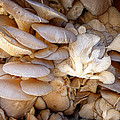 Oyster Mushrooms by Dee Flouton