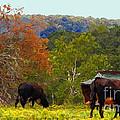 Ozark Cows by Lydia Holly