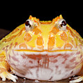 Pac Man Frog Ceratophrys On A Rock by David Kenny