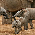 Pachyderm Pals by Bruce J Robinson