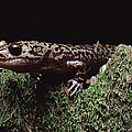 Pacific Giant Salamander On Mossy Rock by Larry Minden