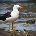 Pacific Gull by Terence Kneale