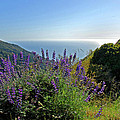 Pacific Lupines by Lynn Bauer