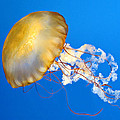 Pacific Sea Nettle by Dave Mills