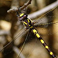 Pacific Spiketail Dragonfly On Mt Tamalpais 2 by Ben Upham III