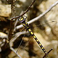 Pacific Spiketail Dragonfly On Mt Tamalpais by Ben Upham III
