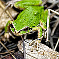 Pacific Tree Frog 2a by Sharon Talson