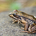 Pacific Tree Frog On A Rock by David Gn