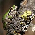 Pacific Treefrog by Ben Upham III