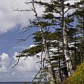 Pacific West Coast Trees by Inge Riis McDonald