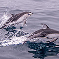 Pacific White Sided Dolphins by Randy Straka