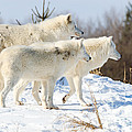 Pack Of Arctic Wolves by Les Palenik