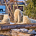 Pack Of Arctic Wolves Watching A Polar Bear Movie by Les Palenik