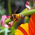Packin Poppy Pollen by Joe Schofield