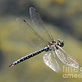 Paddletail Darner In Flight by Vivian Christopher